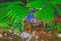 Male blued eared kingfisher catch jumping fish alcedo meninting Royalty Free Stock Images