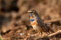Male bluethroat Royalty Free Stock Images