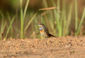 Male bluethroat luscinia svecica beautiful standing on ground Stock Photos