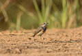 Male bluethroat luscinia svecica beautiful standing on ground Stock Image