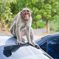 Male Bonnet Macaque on a Car Roof Royalty Free Stock Photos