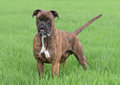 Male boxer dog Royalty Free Stock Photo