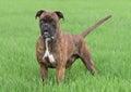 Male boxer dog Royalty Free Stock Photo