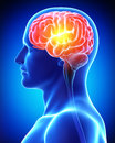 Male brain in blue x-ray Royalty Free Stock Images