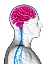 Male brain d rendered illustration Stock Photos