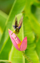 Male brown throated sunbird anthreptes malacensis start to fly Stock Image