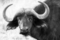 Male Buffalo