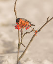 Male Bullfinch feeding on berries Royalty Free Stock Photography