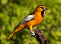 Male Bullock's Oriole Stock Photo