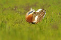 Male bustard steppe turning cartwheels in the field of cereal a Stock Image