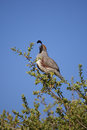 Male california quail calling a colorful gambel s in a tree Royalty Free Stock Images