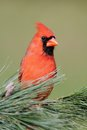 Male Cardinal On A Branch Royalty Free Stock Photo