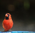 Male Cardinal L side Royalty Free Stock Photo