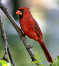 Male cardinal perched in missouri walnut tree Stock Photography