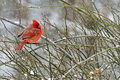 Male Cardinal perches on a limb in a snowstorm. Royalty Free Stock Photo