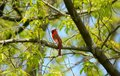 Male Cardinal Perching On Tree Branch Royalty Free Stock Photo