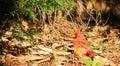 Male Cardinal Sunbather 1 Royalty Free Stock Photo