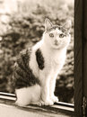 Male cat black and white sepia portrait Royalty Free Stock Photo