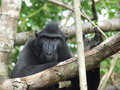 Male celebes crested black macaque in tree intangkoko national park in the minahasa in north sulawesi indonesia Stock Image