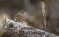 Male Chaffinch on a log Royalty Free Stock Image