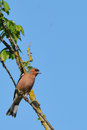 Male chaffinch the is a very colour bird with a pink underside and grey head chaffinches are songbirds and feed on insects and Royalty Free Stock Image