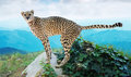 Male cheetah standing on stone at wildness Royalty Free Stock Photo