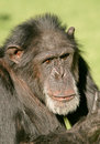 Male chimpanzee Royalty Free Stock Image