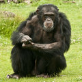 Male chimpanzee pan troglodytes guarding his community Royalty Free Stock Photography