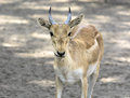 Male Chinkara Royalty Free Stock Photo