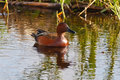 Male cinnamon teal swimming in waters of a marsh Stock Photo