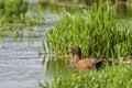 Male cinnamon teal a swims in marsh waters near hauser lake idaho Royalty Free Stock Image