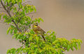 A male cirl bunting in the summer is still singing from bush in bulgaria Stock Photos