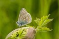 A male common blue butterfly with wings closed Royalty Free Stock Photo