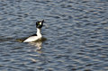 Male common goldeneye performing his mating dance in the lake Stock Photography