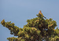Male common kestrel a falco tinnunculus has chosen the top of a mediterranean cypress tree cupressus sempervirens which allows him Stock Image