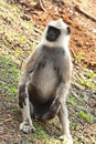 Male Common Langur Relaxing Stock Images