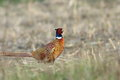 Male common pheasant in the field Royalty Free Stock Photo