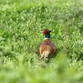Male common pheasant on green field Royalty Free Stock Photo
