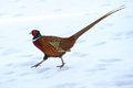 The male common pheasant phasianus colchicus is a wonderful colored gallinaceous bird its a non migratory bird in uppland sweden Stock Photo