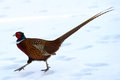Male common pheasant phasianus colchicus wonderful colored gallinaceous bird its non migratory bird uppland sweden prefers farming Stock Photography