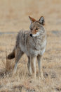 Male Coyote Portrait Royalty Free Stock Photos