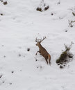 A male deer cervus elaphus runs uphill on a snow covered terrain in the picos de europa national park in northern spain Royalty Free Stock Images