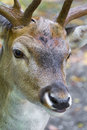 Male deer close up in the woods Royalty Free Stock Photo