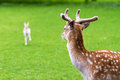 Male deer watching the young looking at its new born and protecting herd Stock Images