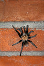 Male Desert Tarantula On A Brick Wall Royalty Free Stock Photo