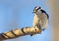 Male downy woodpecker on limb a perches the end of a tree with a blue sky behind Stock Photos