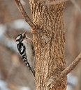 Male Downy Woodpecker, Picoides pubescens Royalty Free Stock Photos