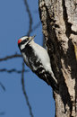 Male downy woodpecker at red rocks colorado Stock Photos