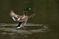 Male of duck is going down to water surface Stock Photos