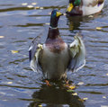 Male ducks stands on its legs nad flaps its wings duck in water and Stock Photos